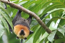A bat with a light brown upper body and dark brown lower body hangs upside down from a leafy tree branch in the Seychelles.