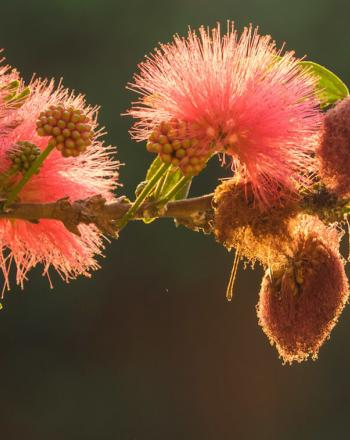 Close-up of pink-red flowers on branch, light illuminating them from behind.