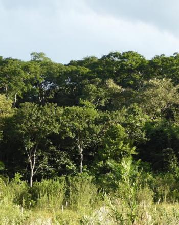 Landscape of lush, green trees with shorter grasses in the foreground.