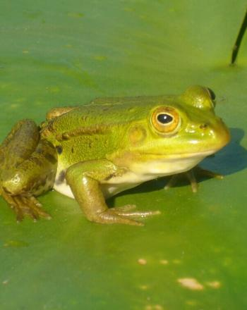 Close-up of green frog on green lily pad.