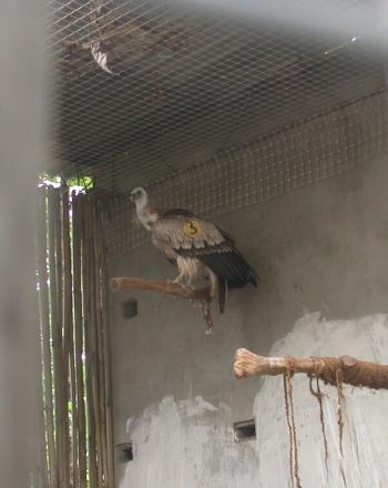 Vulture in enclosure.