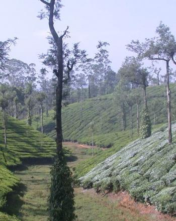Tree plantation, trees spotting the landscape.