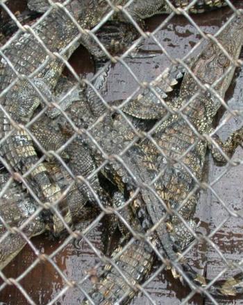 Crocodiles behind chain-link fense.