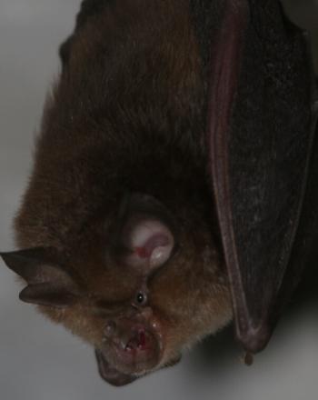 Close-up of hanging bat.