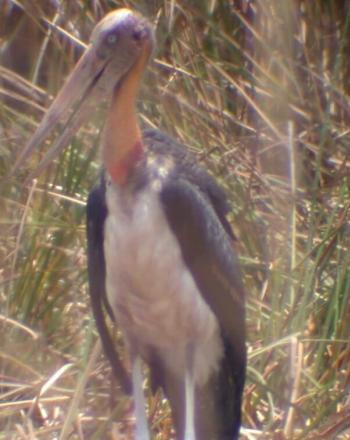 Large bird standing.