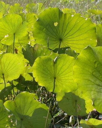 Many green lotus leaves.
