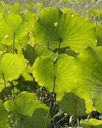 Many green lotus leaves.