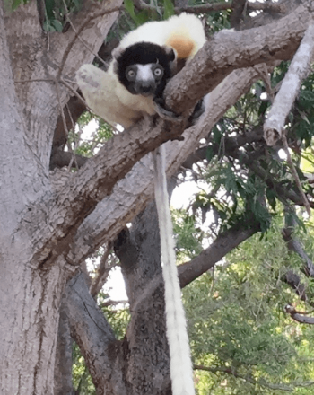 Lemur, looking toward camera, in tree, long tail hanging town.