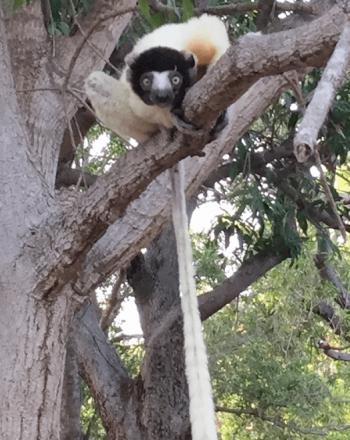Lemur, looking toward camera, in tree, long tail hanging town.
