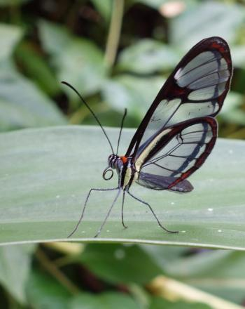 Close-up of butterfly with clear and black wings on leaf.