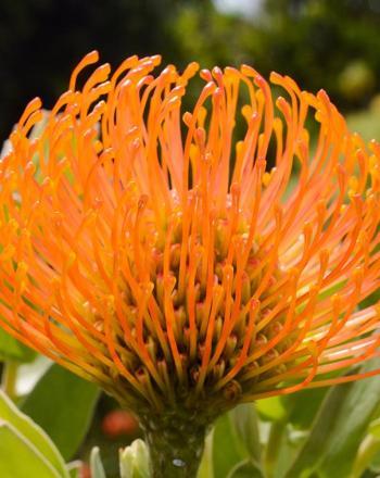 Close-up of orange flower.