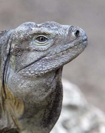 Close-up of iguana.