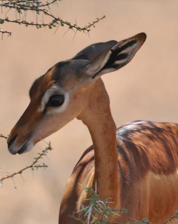 Close-up of small, brown antelope near spindly tree.