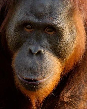 Large orangutan close up.