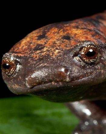 Close-up of brown and orange salamander on leaf.