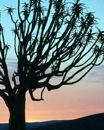 Aloe tree against sunrise or sunset.