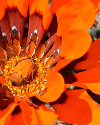 Close-up of bright orange flower with orange beetle in its center.