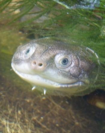 Terrapin underwater, peaking out from sea grass.