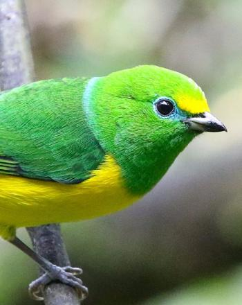 Close up of green, yellow, blue bird on branch.