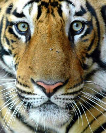 Striking close-up of tiger's face from slightly above.