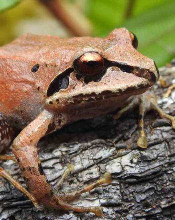 Close-up of orange frog.