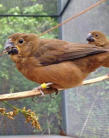 Three brown birds in large cage standing on branch.