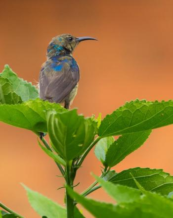Gray and blue bird sitting atop green plant.