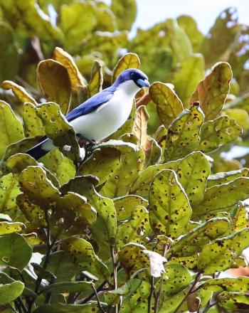 Blue and white bird on leafy tree branch.
