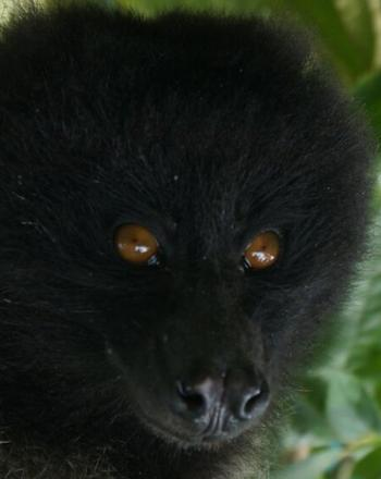 Close-up of black monkey with brown eyes.