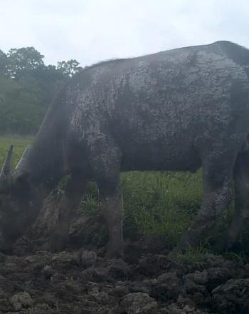 One buffalo standing, one lying down.