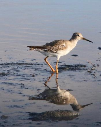 Brown-and-white bird with long beak walking on wet sand.