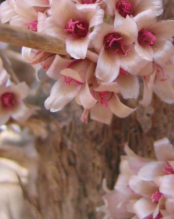 Close-up of bunches of light pink flowers on tree.