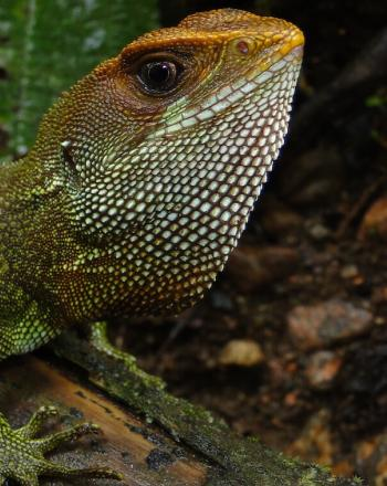 Close-up of green iguana with a bit or orange, too.