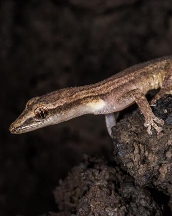 Brown gecko.