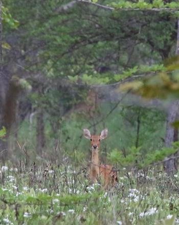 Deer in the middle of field, looking toward camera.