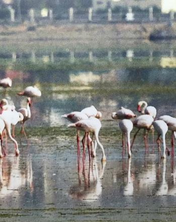 Flock of flamingos standing in shallow water.