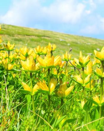 Cluster of bright-yellow flowers on sloping hill.