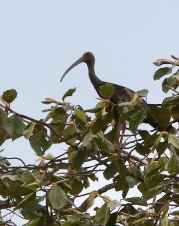 Large bird with long, curving beak standing in high tree.