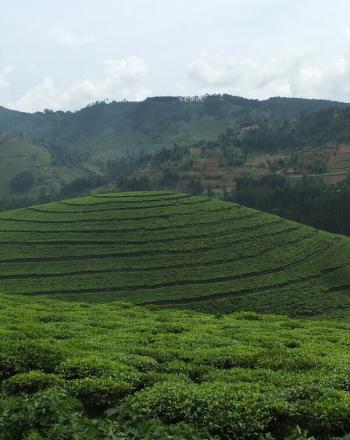 High-up view of tea plantation with forest in background.