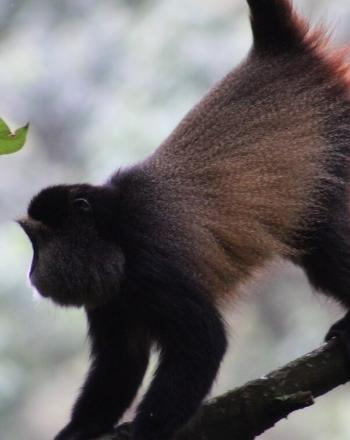 Close-up profile of golden monkey climbing on branch.