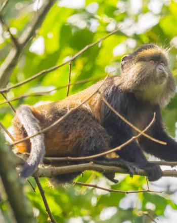 Close-up of golden monkey up in tree.