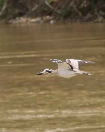 White bird with black markings mid-flight over brown river.