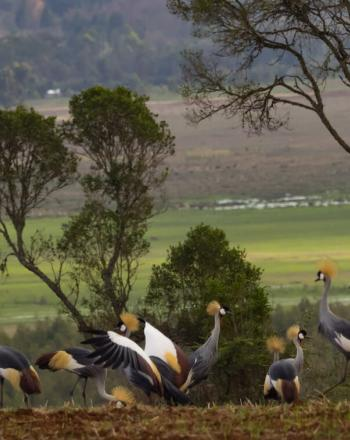 Group of cranes with yellow feathers on top of their heads walking on ground.