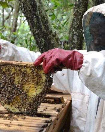 Beekeeper holds up honey comb from wooden beehive.