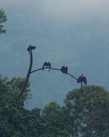 Four hooded vultures sitting on a high tree branch.