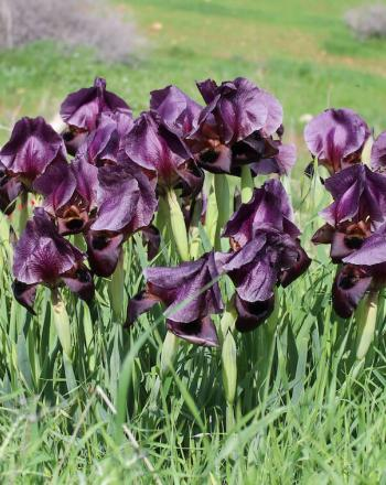 Group of purple irises growing from ground.