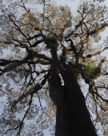 Looking up at branches of huge tree.