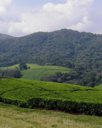 Tea plantation in the forefront, mountain stuffed with trees in the background.