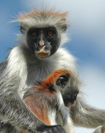 Close-up of mother monkey with juvenile between her arms.