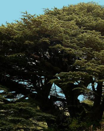 Large cedar tree on sloping hill.